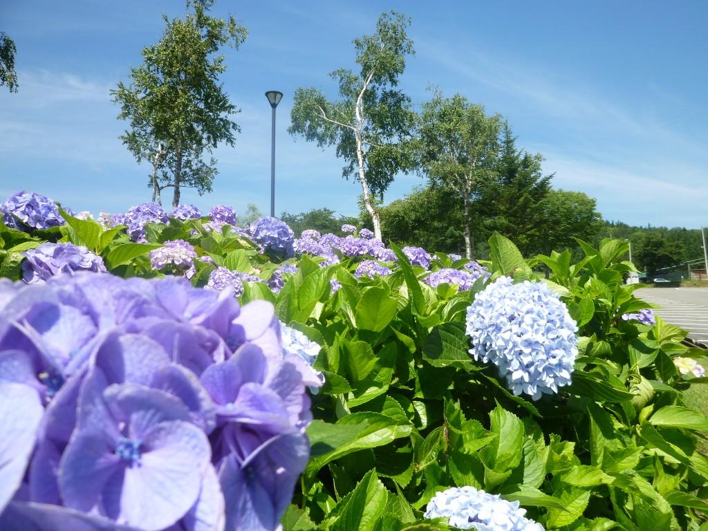 7.12紫陽花